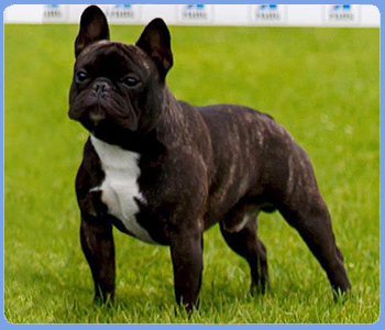 french bulldogs frustyle moscow russia our dogs