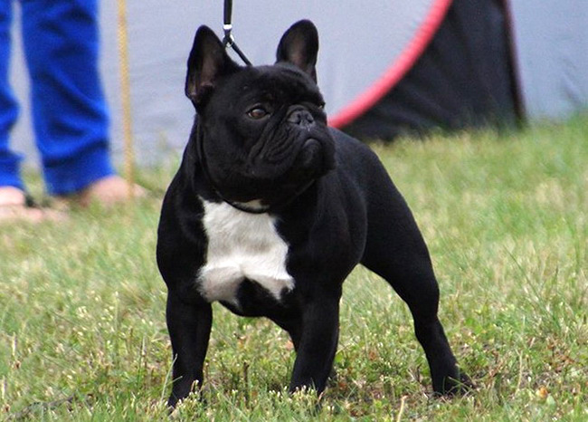 french bulldogs quotfrustylequot moscow russia