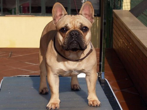 Honey French Bulldog