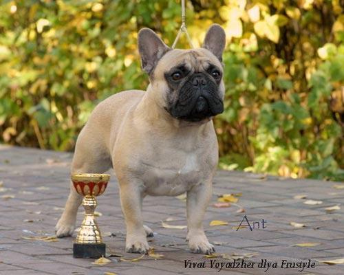 #4 french bulldog