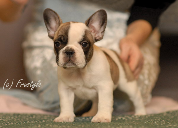 Brown French Bulldog Puppies