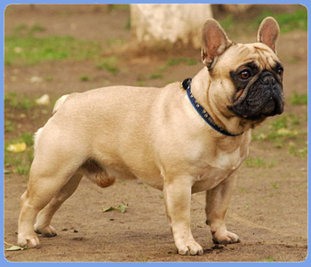 french bulldog VIVAT VOYADZHER FOR FRUSTYLE